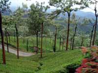Munnar Tea Garden with Silver oak trees